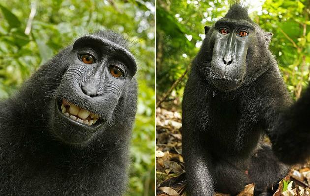 As selfies mais simpáticas já feitas são de uma macaca. Foto: David J Slater/Caters (ou Wikimedia Commons / Domínio Público?)